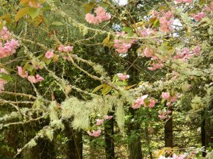Flowering Cherry and Moss 2