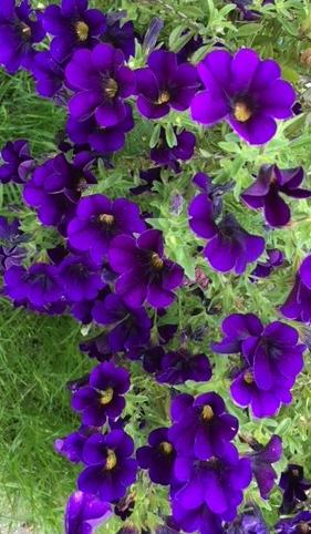 purple flowers 1 (2)